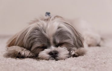 lovable sleeping dog